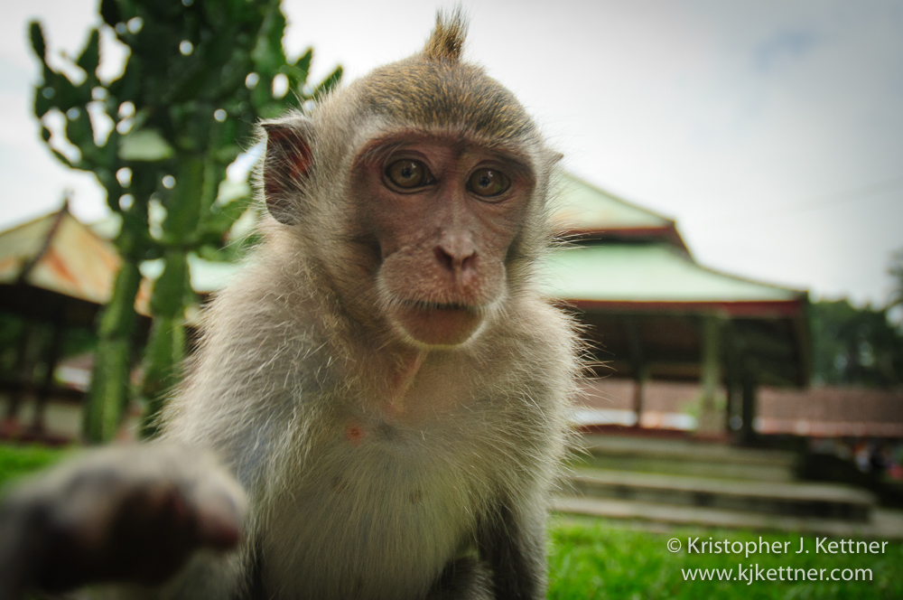 A monkey reaches for the camera at the Alas Kedaton Temple in Bali, Indonesia. (6540)